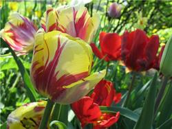 Как сохранить крокусы после цветения